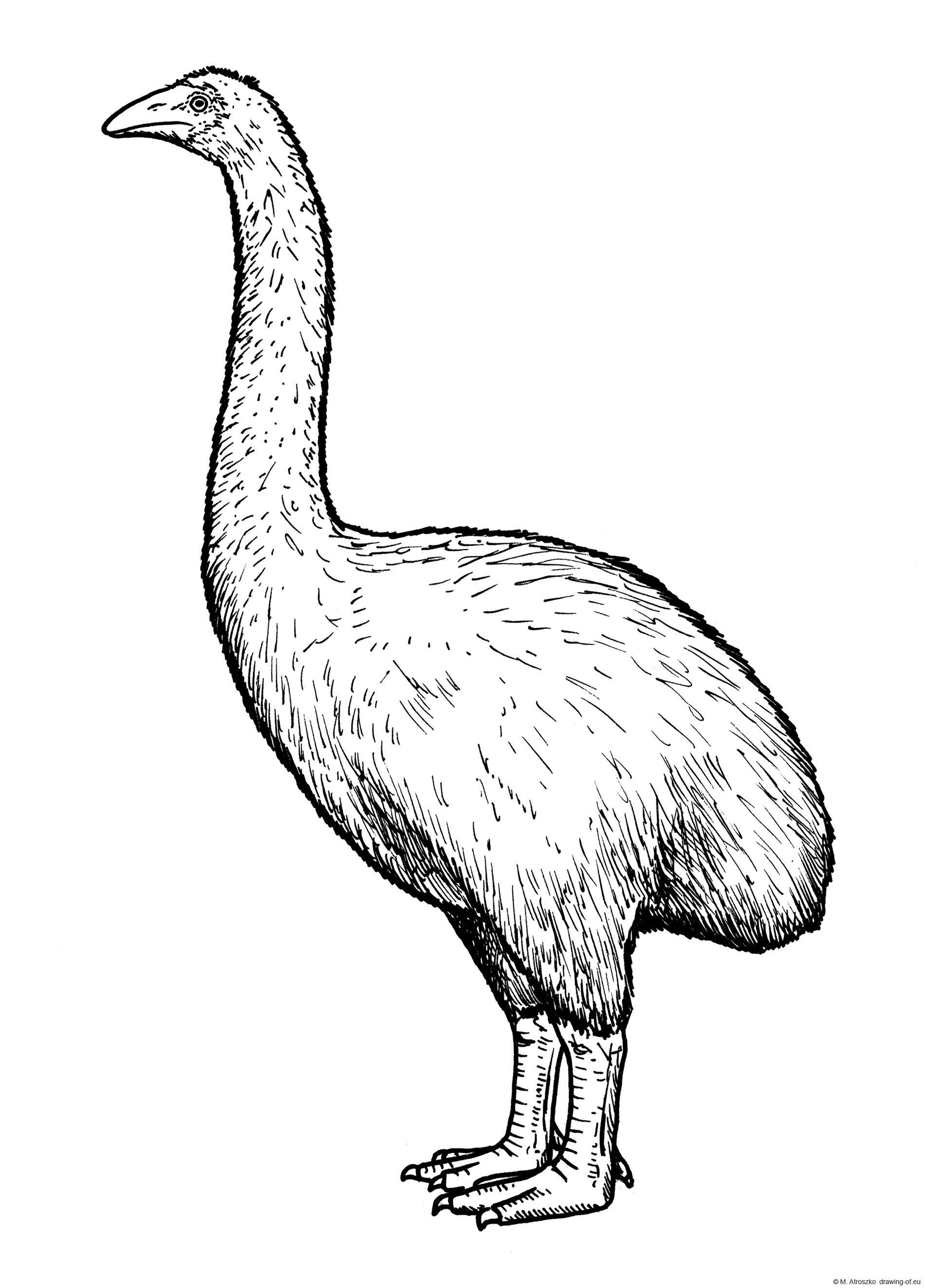 Moa bird drawing