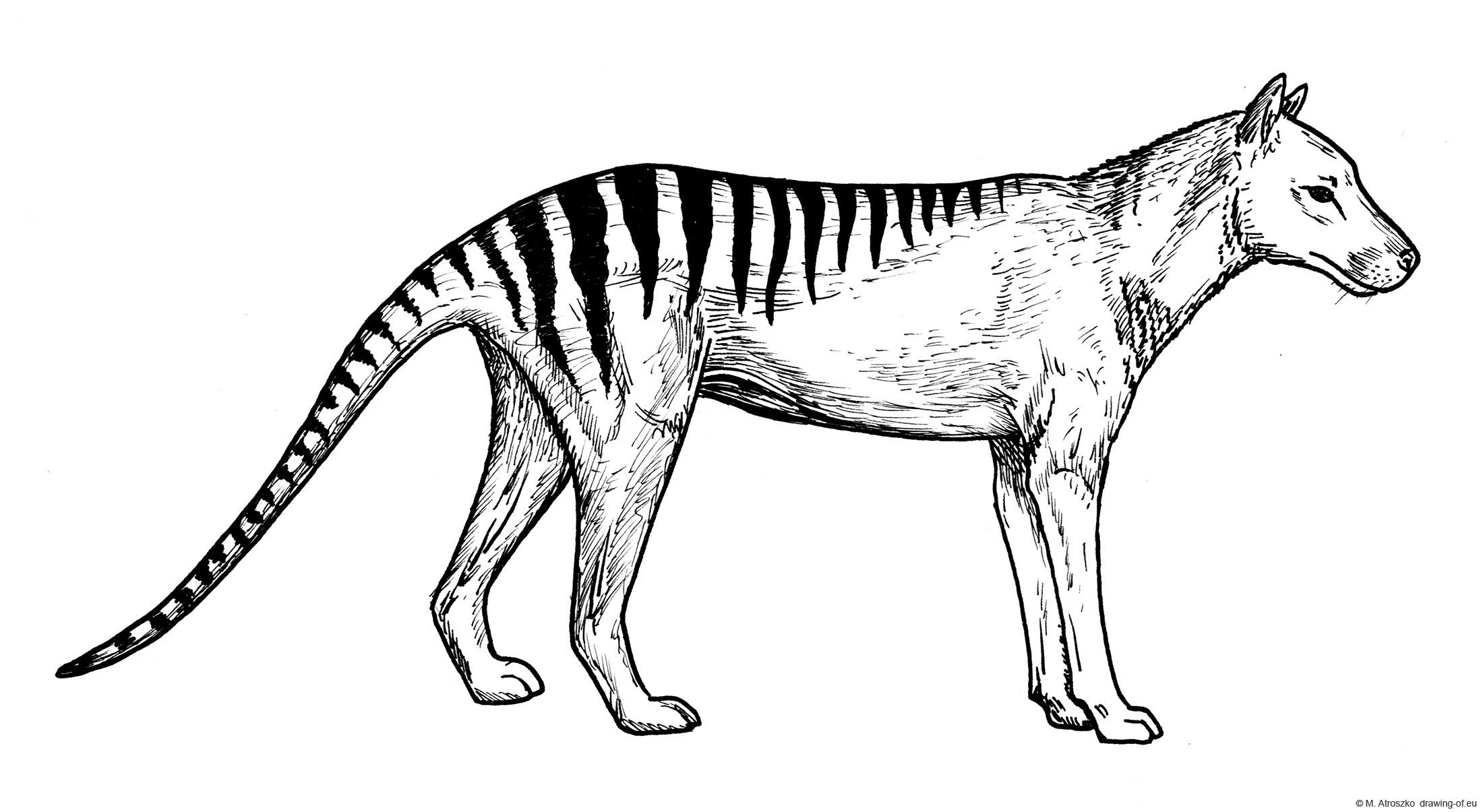 Thylacine - Tasmanian wolf draw
