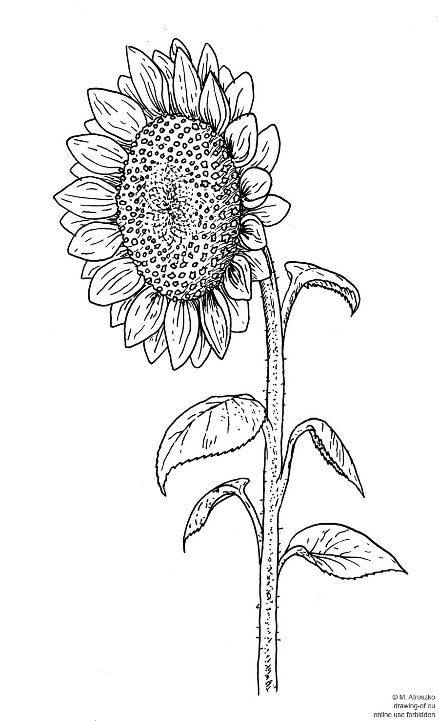 drawing of sunflower