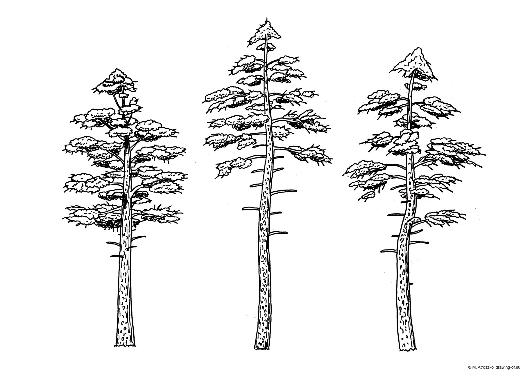 drawing of pines