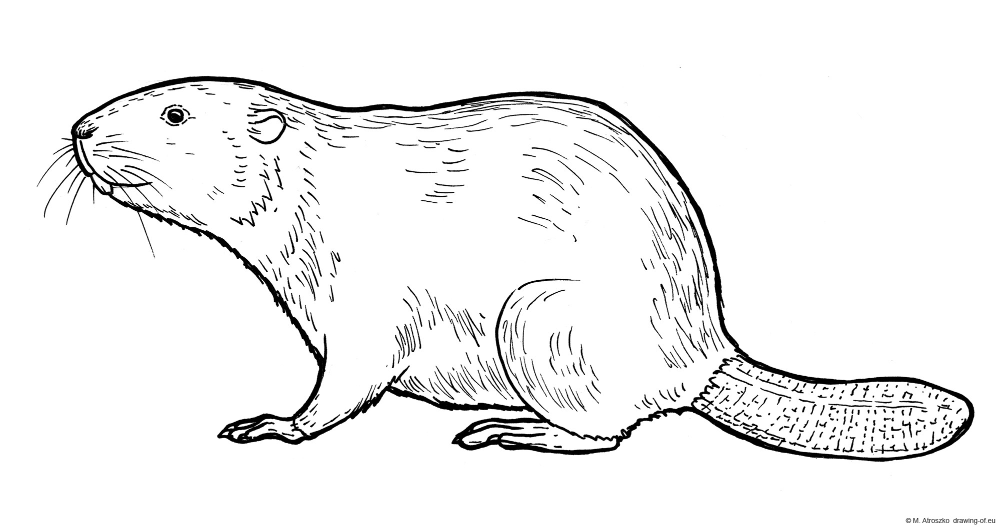 Drawing of beaver - coloring page