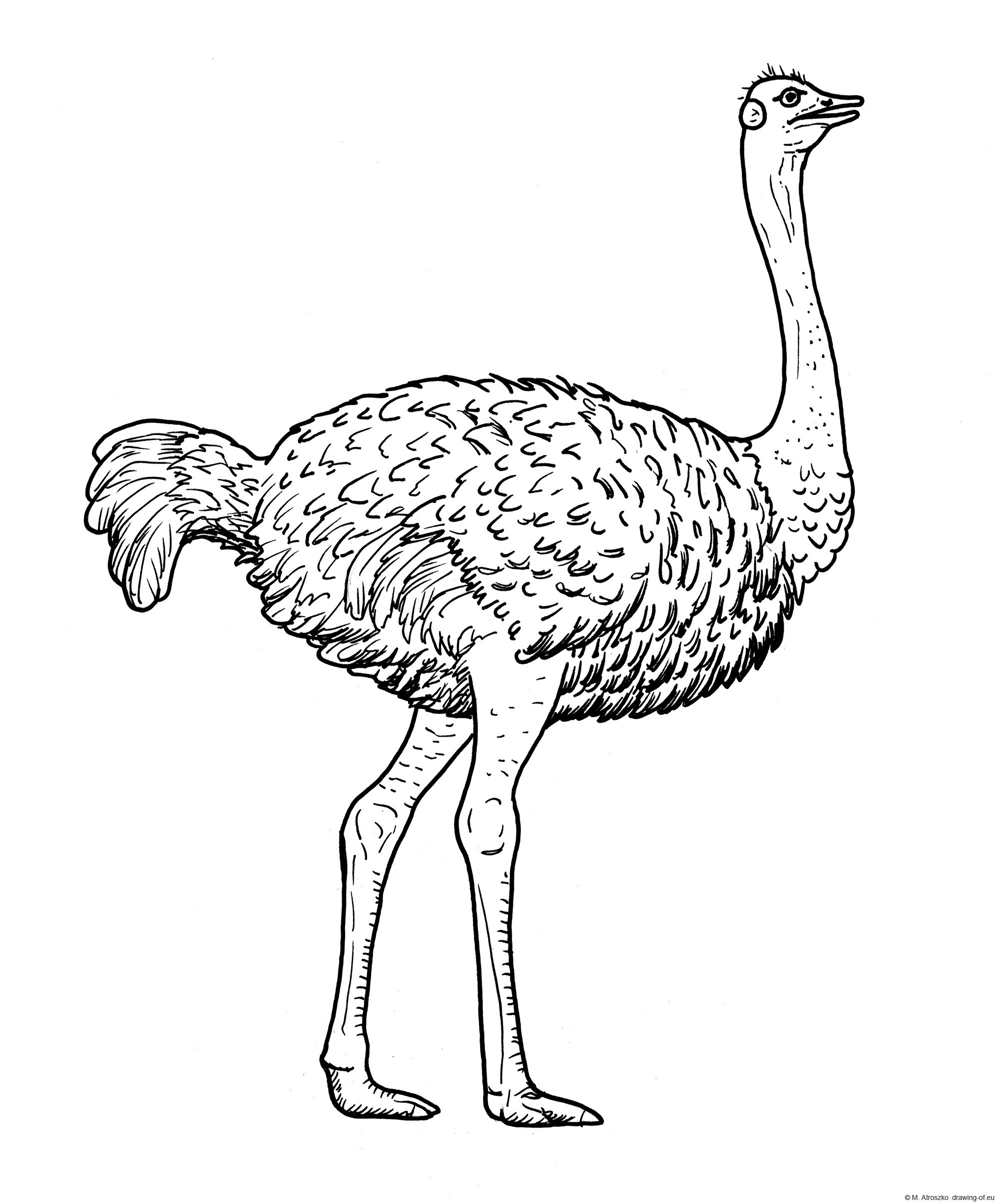 Drawing of common ostrich