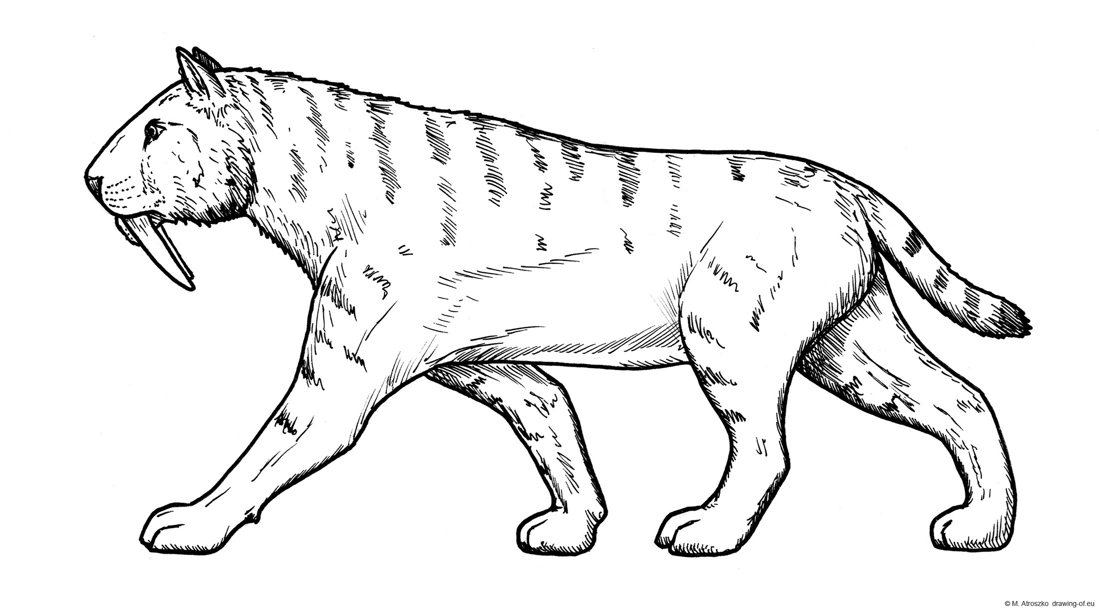 Sabre toothed tiger drawing