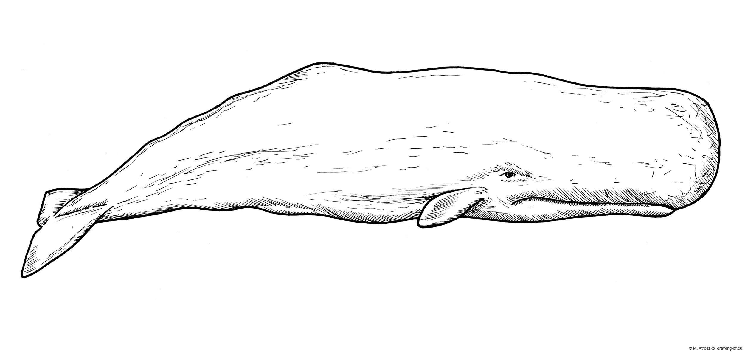 Drawing of sperm whale