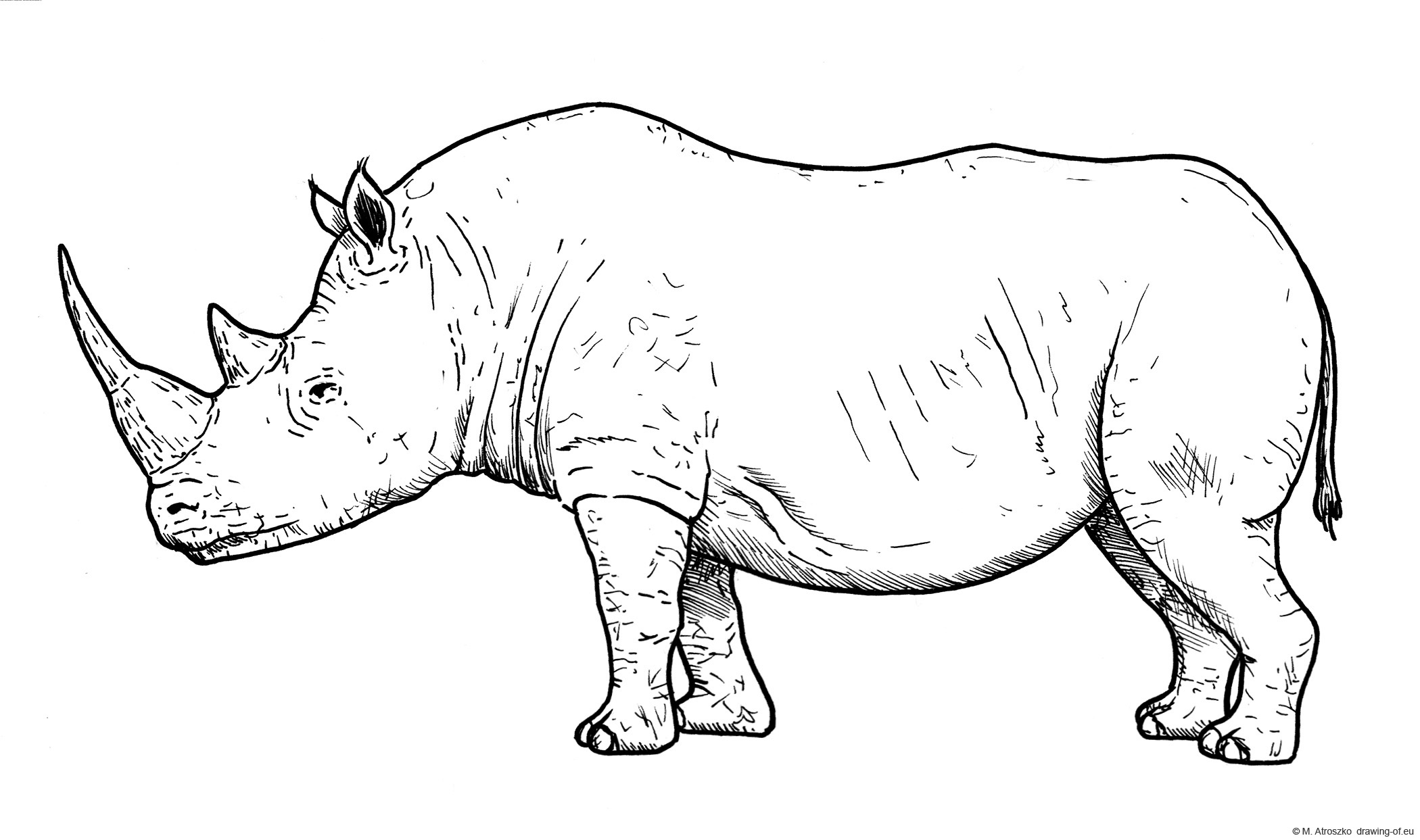 Drawing of white rhinoceros