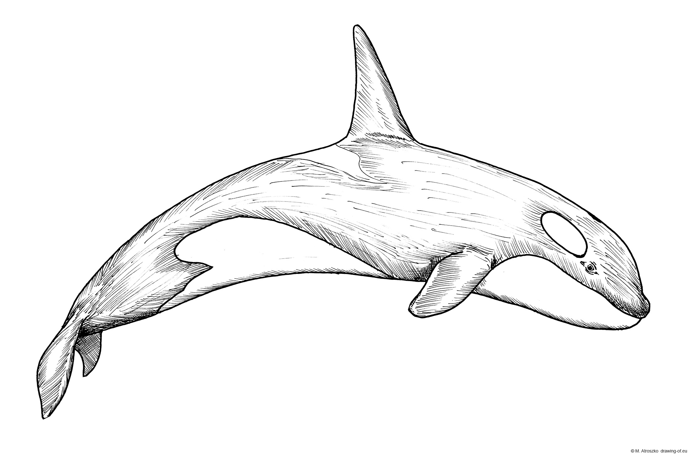 Drawing of orca - Killer whale. Coloring page.